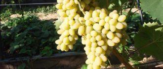 Виноград Триумф: описание сорта, фото, характеристики