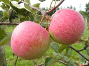 Яблоня Августа: описание сорта, посадка и уход