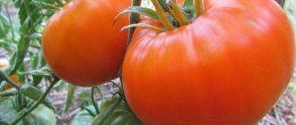 Томат Алтайский оранжевый: описание сорта