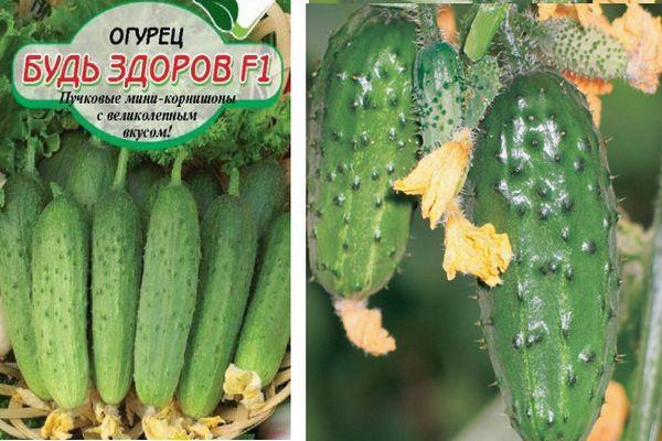 Огурец Будь здоров - описание и характеристика сорта