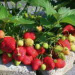 Клубника Альбион: описание сорта, выращивание, характеристики