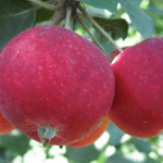Яблоня Алтайское багряное: описание сорта, фото