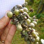Мучнистая роса на винограде: характеристики, меры борьбы, фото