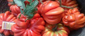 Томат Американский ребристый: описание сорта, выращивание, уход, фото