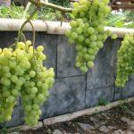 Выращивание винограда в Сибири: лучшие сорта, посадка и уход