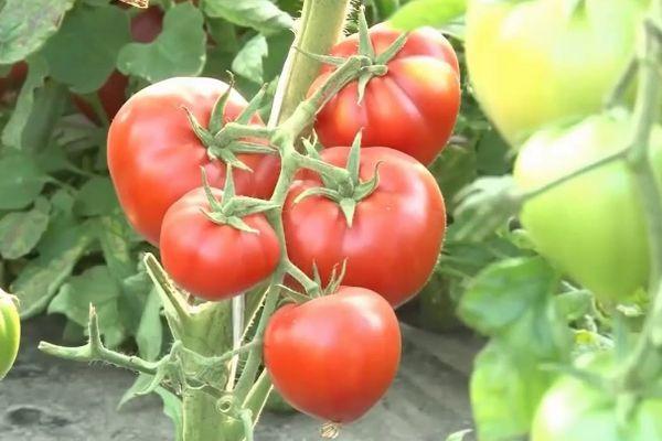 Томат Бабушкино: описание сорта, выращивание, фото