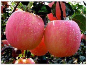 Яблоня Алтайская красавица: описание сорта
