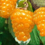 Малина Золотая осень: описание сорта