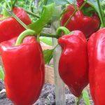 Популярные  сорта перцев: описание, посадка и уход