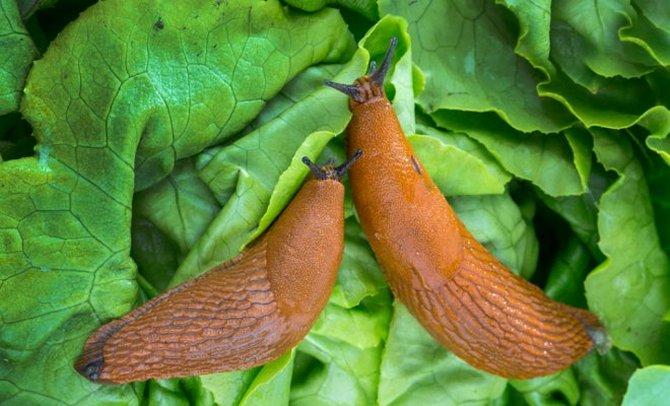 Вредители сладкого перца: описание с фото и меры борьбы с ними