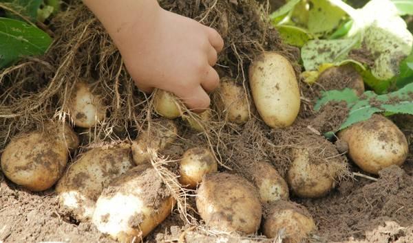 Картофель Удача: описание и характеристика сорта с фото, вкусовые качества и лежкость, особенности выращивания и ухода