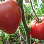 Томат Батяня: описание сорта, выращивание, уход, фото