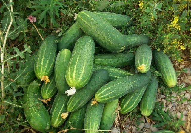 Лучшие сорта огурцов для Ленинградской области в открытом грунте