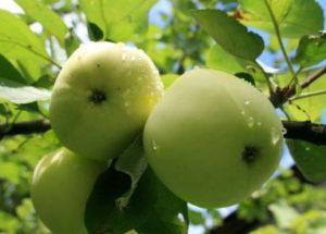 Яблоня Белый налив: описание сорта