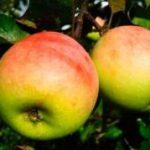 Яблоня Абрикосовое: описание сорта