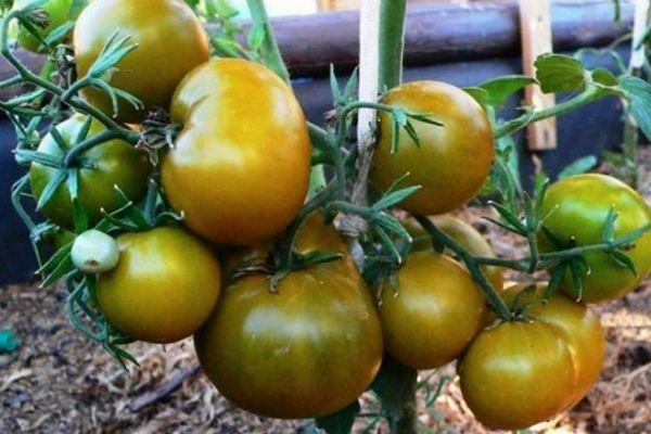Томат зеленоплодный - Болото: описание сорта