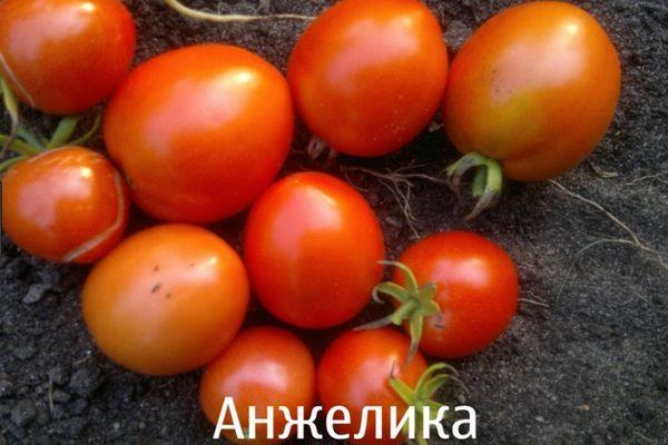 Томат Анжелика: описание сорта, выращивание, фото