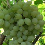 Виноград Кишмиш: описание сорта