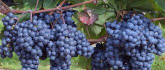 Виноград Декабрьский: описание сорта