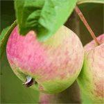 Яблоня Алтайское румяное: описание сорта, посадка и уход, фото