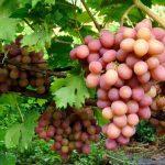 Виноград розовый: описание сортов