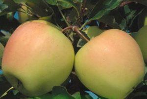 Яблоня Айнур: описание сорта