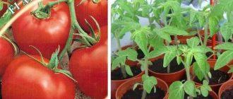Томата Азов: описание сорта и особенности выращивания