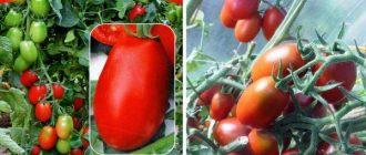 Томат гибридный Аполлон f1: описание сорта, характеристики, фото, выращивание