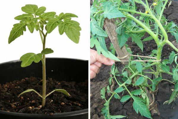 Сорт томата Бравый генерал, характеристика плодов, выращивание