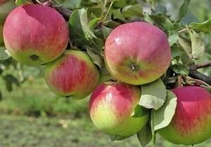 Яблоня Авенариус: описание сорта, посадка и уход