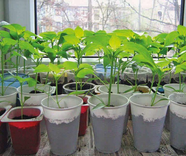 Рассада перца в домашних условиях: выращивание, уход, фото