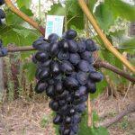 Виноград Кубань: описание сорта, фото, отзывы, посадка и уход