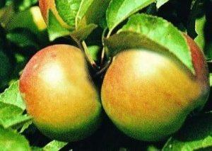 Народная яблоня Бабушкино: описание сорта
