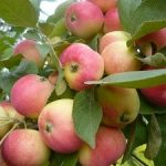 Яблоня Аленушка: описание сорта, характеристики, фото
