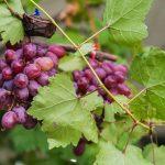Виноград Блестящий: описание сорта