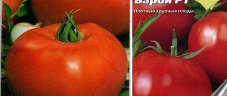 Томат Барон F1: описание сорта, выращивания, фото