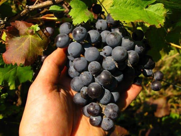 Виноград фиолетовый ранний: описание сорта