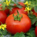 Томат Агата: описание сорта, выращивание и урожайность