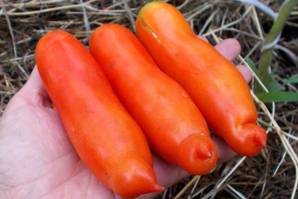 Томат Аурия: описание сорта, отзывы о урожае, фото, выращивание