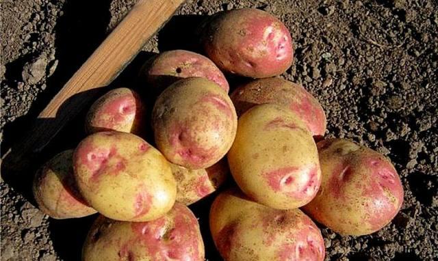 картофеля-для-средней-полосы-России