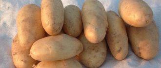 Лучшие сорта картофеля для Краснодарского края