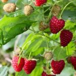 Как подготовить почву для посадки малины