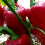 Лучшие сорта перцев для Северо-Запада для теплиц