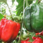 Лучшие сорта перцев для Урала в теплице