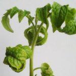 Скручиваются листья у рассады помидоров: причины, что делать