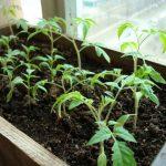 Рассада помидоров замерла в росте, что делать