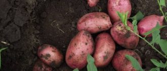 Лучшие сорта картофеля для Подмосковья: описания и характеристики