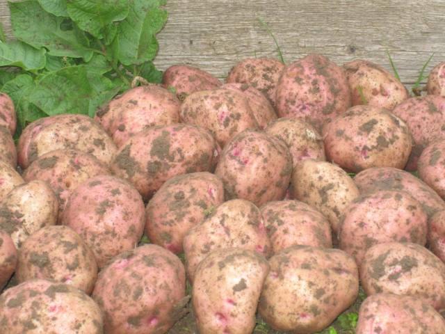 сорта-картофеля