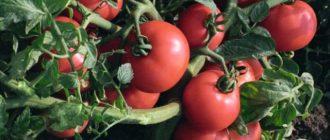 Лучшие сорта томатов для Подмосковья в открытом грунте