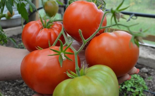 томаты-Сибирь-теплицы